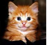 """""""Cc:"""" copia carbone: il primo gatto clonato"""