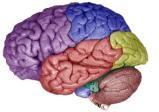Allergia & Cervello: una sorprendente scoperta neuroendocrina effettuata nel cane