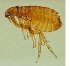 Pulci e mastociti