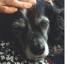 Problemi comportamentali nel cane anziano