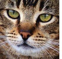 Gatti: specie a rischio