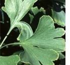 Ginkgo biloba: efficace contro l'amiloide