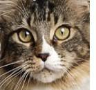 Artrosi anche nel gatto