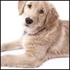Labrador: attenti al gomito