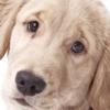 Labrador a rischio artrosi