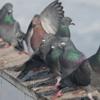 EBM in Ortopedia: impariamo dai piccioni.