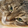Dolore da artrosi nel gatto