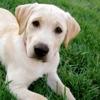 Divertiamoci con il Labrador