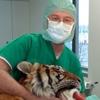 Protesi d'anca in una tigre: successo italiano