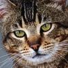 Ciclosporina: il 66% dei gatti trattati manifesta effetti collaterali