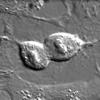 Nobel 2012 alla medicina rigenerativa