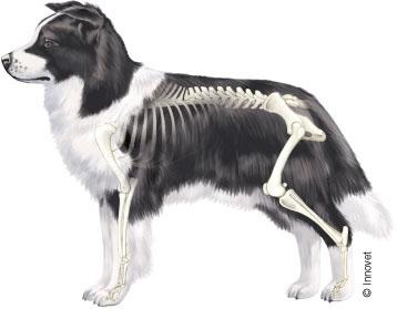 Le principali articolazioni del cane