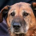 Cane anziano: i segni premonitori di demenza