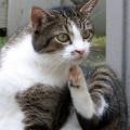 Atopia felina: una diagnosi in assenza di pulci