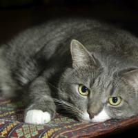 Infezioni urinarie in gatti con malattia renale cronica