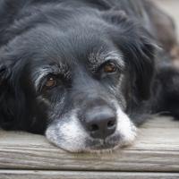 Come l'uomo, anche il cane anziano è più emotivo