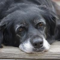 Demenza senile del cane: scoperta una nuova causa