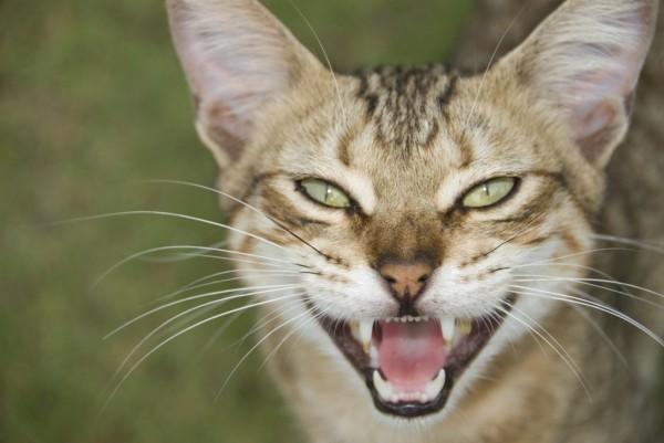 L' artrosi nel gatto