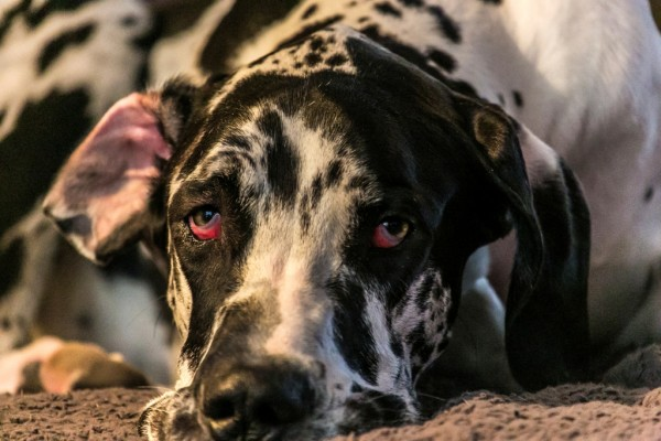 Occhio Rosso in cani e gatti