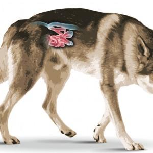 Cane lupo ceccoslovacco con intestino evidenziato