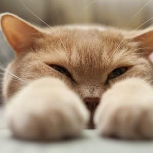 Gatto che sonnecchia