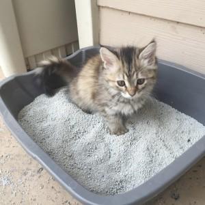 gattino che usa la lettiera