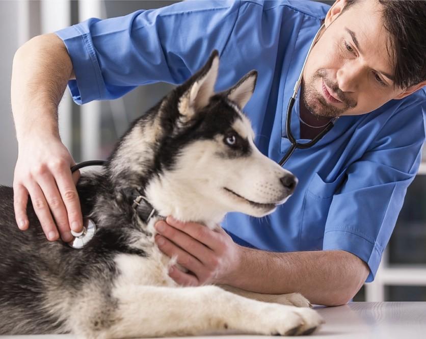 Un veterinario visita un cane siberian husky