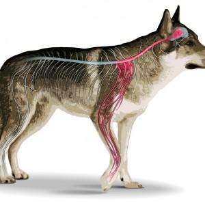 Indagine italiana sul dolore viscerale del cane