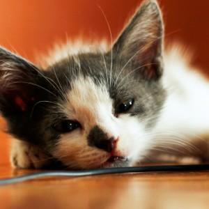 Rischio chimico per i gatti di casa