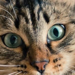 I mastociti nella congiuntivite allergica del gatto