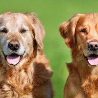 Femmine più longeve dei maschi, anche nei cani.