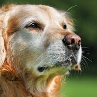 La sindrome da fragilità del cane anziano