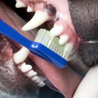 Nuove linee guida WSAVA per le cure odontoiatriche