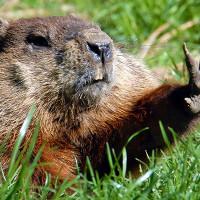 Fermiamo la strage delle marmotte