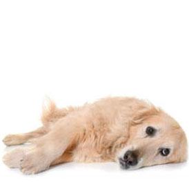 Cane adulto affetto da dolore articolare