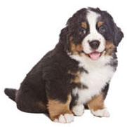 Cane cucciolo sano di taglia grande/gigante senza artrosi