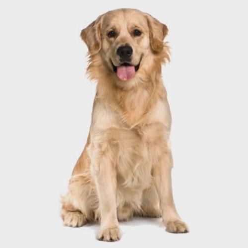 Il cane adulto