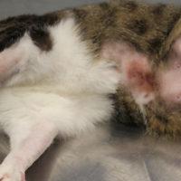 PEA-um nella dieta del gatto allergico: un nuovo studio controllato