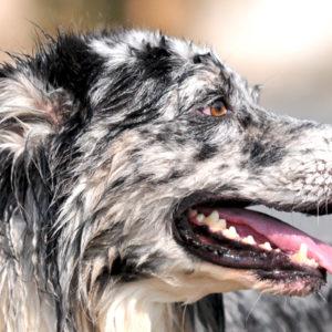 Cardiopatie nel cane: dalla bocca al cuore il passo è breve
