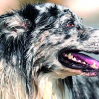 Un'alga del mare del nord migliora la salute orale del cane