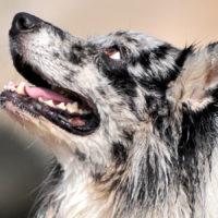 Valutare il dolore alla bocca di cani e gatti
