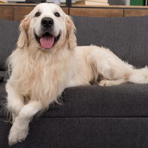 Golden Retriever sul divano