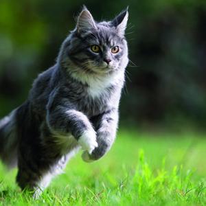 Un nuovo test per scoprire il dolore articolare del gatto