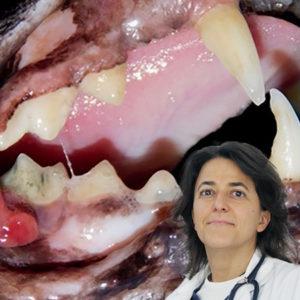 Un nuovo webinar Innovet sull'Odontostomatologia felina