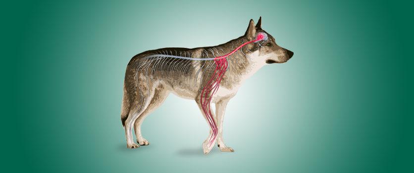 La micro-PEA come strumento dietetico per il dolore cronico di cani e gatti
