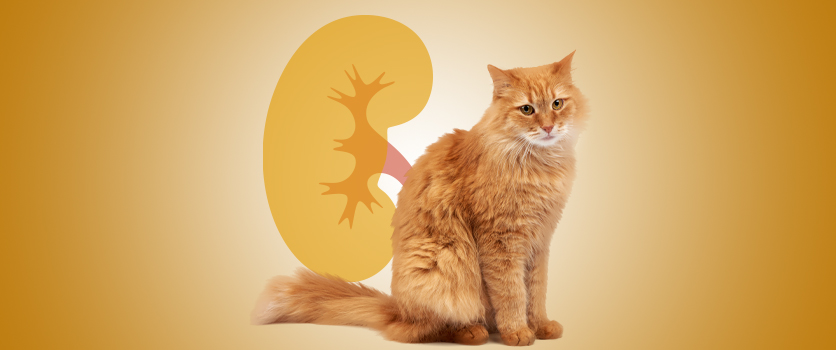 PEA-um e problemi renali del gatto in un webinar per medici veterinari