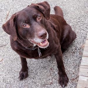 La demenza del cane anziano si legge anche dalle gengive